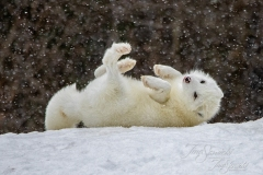 Rolling in the Snow Arctic Fox