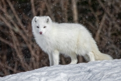 Overlooking Arctic Fox