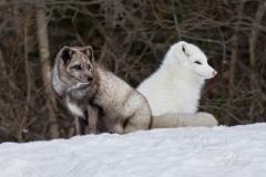 White and Blue Fox Pair
