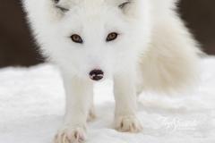 Facing Arctic Fox