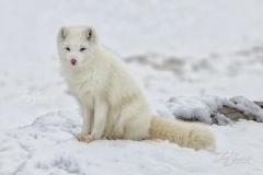 Arctic Fox on Rocks