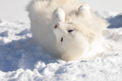 Rolling Arctic Fox
