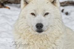 Regal Arctic Wolf
