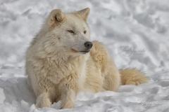 Sunning Arctic Wolf