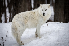 Arctic Wolf on Hill