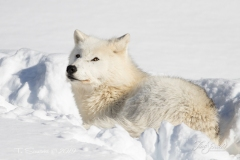 Arctic Wolf Gazing Above