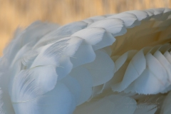 Swan Feathers 4