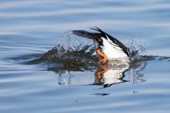 Diving Duck 2