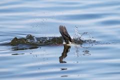 Diving Duck 1