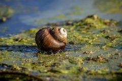 Snail on Algae