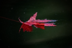 Floating Red Maple