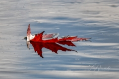 Maple Leaf on Silver Water