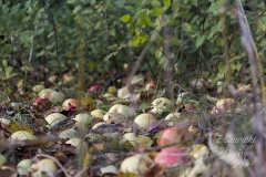 Potter's Creek Apples