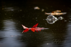 Red Maple Leaf Floating on Water