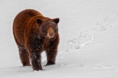 Cinnamon Bear at Base of Hill