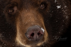 Cinnamon Bear Zoomed In