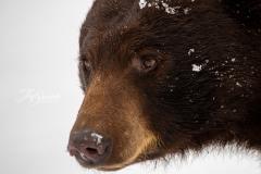 Cinnamon Bear Head Shot