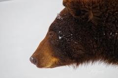 Cinnamon Bear Profile