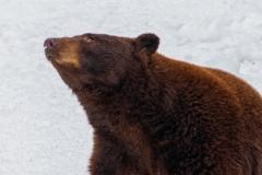Cinnamon Bear Sitting & Looking Up