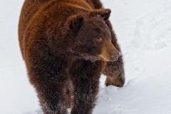 Cinnamon Bear Wandering