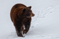 Cinnamon Bear Looking Around
