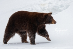 Cinnamon Bear Walking