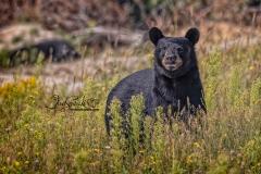 Black Bear Being Curious