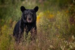 Curious Black Bear