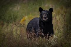 Watching Black Bear