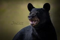 Laughing Black Bear
