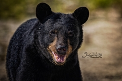 Black Bear in the Sun