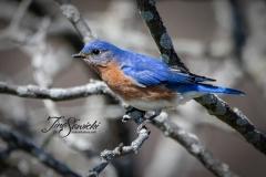 071A5038-bluebird