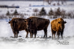 Three Bison Watching