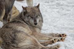 Black Wolf Laying