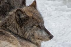 Black Wolf Resting