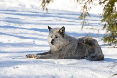 Black Wolf Sunning