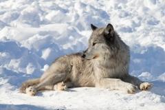 Black Wolf Watching