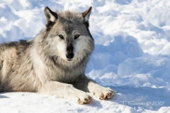 Black Wolf Staring at Lens