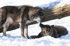 Black Wolf Greeting