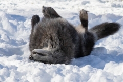Black Wolf Rolling