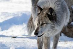 Black Wolf Santering