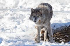 Suspicious Black Wolf