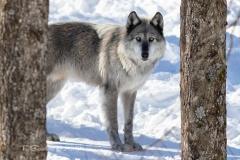 Black Wolf Between Trees