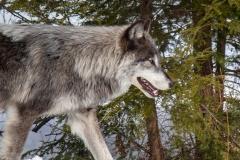 Black Wolf Passing Woods