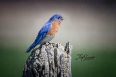 Male Eastern Bluebird on Stump with Glow