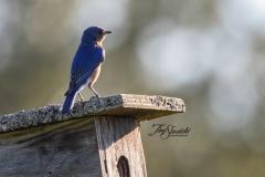 Male Eastern Bluebird on House