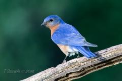 Male Eastern Bluebird Turned on Branch