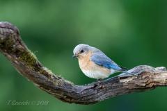 Female Eastern Bluebird Facing on Branch