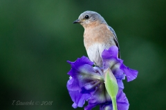 Female Eastern Bluebird on Iris