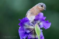 Female Eastern Bluebird on Iris Head Tilt
